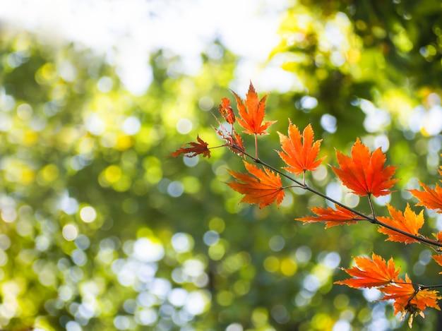 De kleur van esdoornbladeren in de lente van het jaar