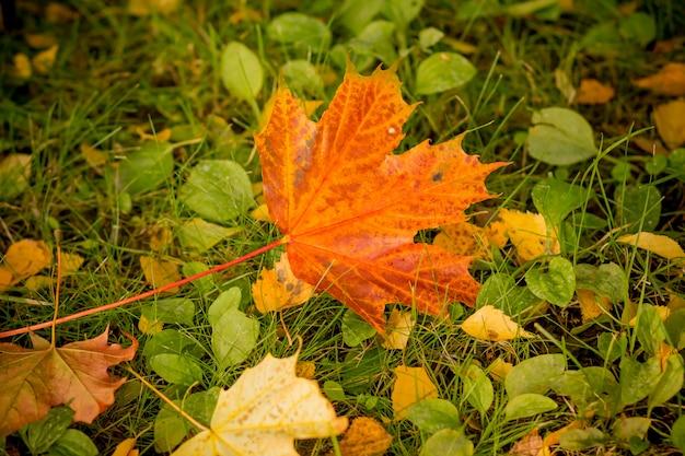 De kleurrijke daling van het esdoornblad van het gazon van het mosgras