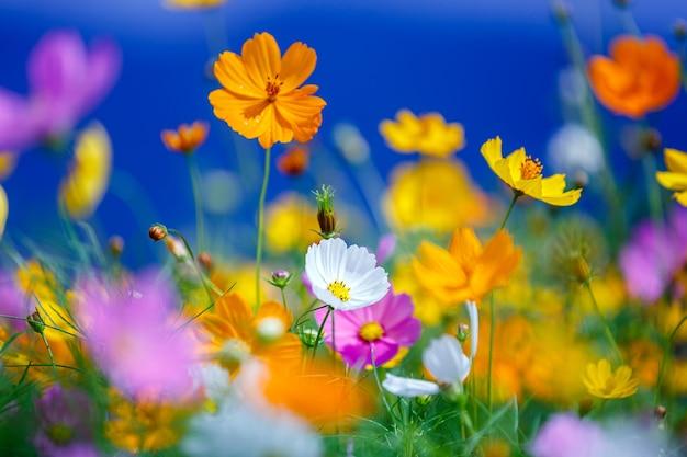 De kleurrijke tuin van de kosmosbloem op de achtergrond van de bulehemel