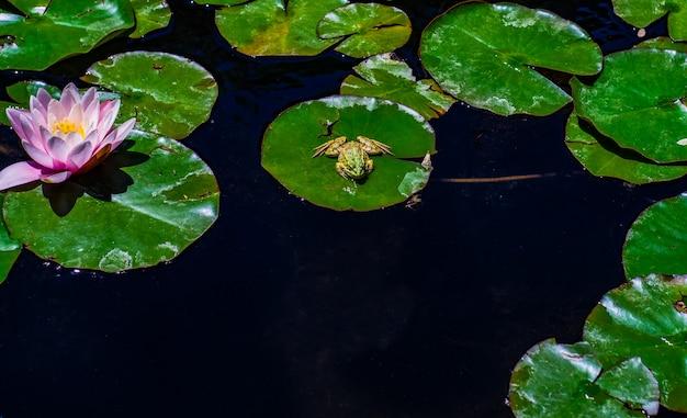 De knop van de waterlelie in de vijver