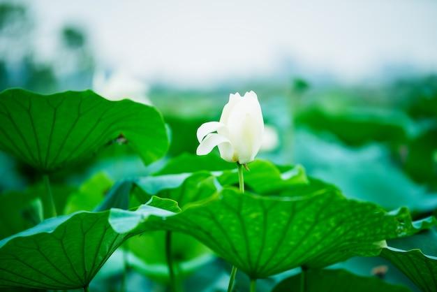 De knop van een lotusbloem. lotusblad, lotusbloem en lotusknop en boom. sankeien in yokohama, kanagawa prefecture, japan.