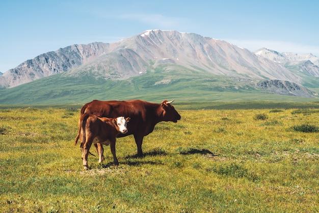 De koe met kalf weidt in weide in vallei tegen prachtige reuzebergen in zonnige dag.