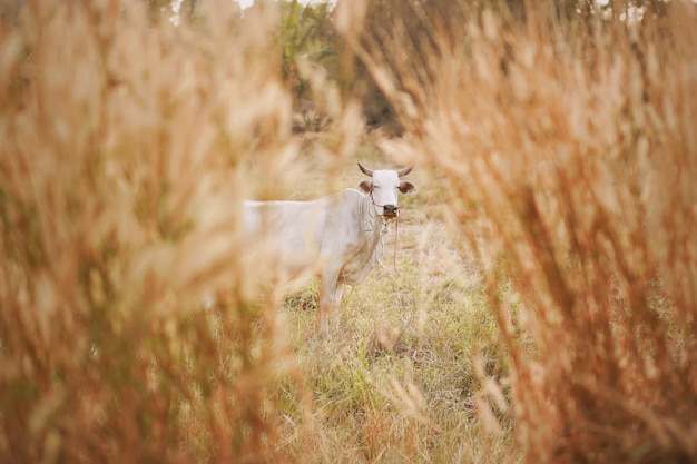 De koe weidt op grasgebied