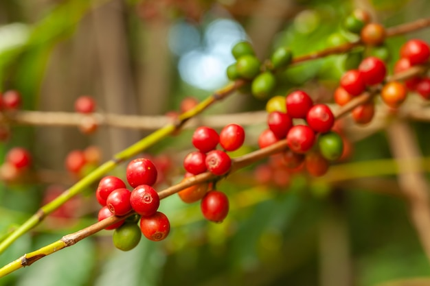 De koffiebonen rijpen klaar om op boom op te nemen - coffeea arabica