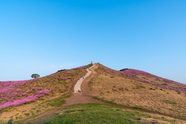De koninklijke azalea's en trappen naar de top van mt. hwangmae, de beroemde berg van korea