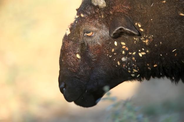 De kop van een zwarte ram is heel close-up. er zitten veel plakkerige doornen op de wol