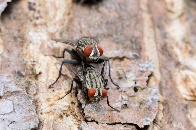 De koppelende bromvlieg vliegt op boom binnen gaden, macrofoto
