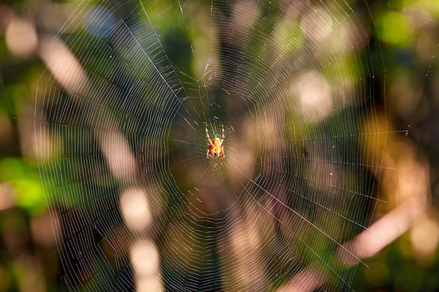 De kruisspin, ook wel europese kruisspin, diadeemspin of pompoenspin in spinnenweb genoemd