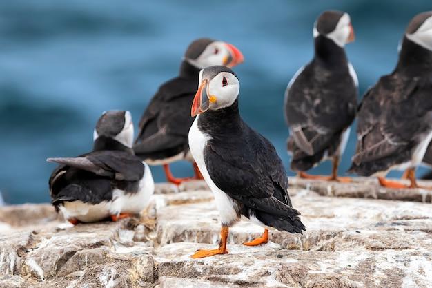 De kudde atlantische papegaaiduikers staat op een klif op de farne-eilanden, de noordzee