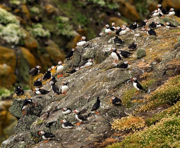 De kudde papegaaiduikers ontspant op een rots, isle of may. north berwick. schotland