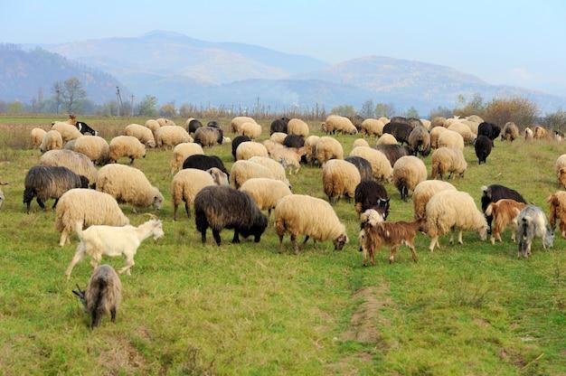 De kudde schapen in de zomerweide