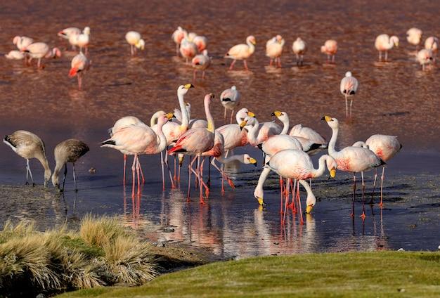De kudde van james flamingo en hun jonge vogels in laguna colorada. altiplano. bolivia. zuid-amerika
