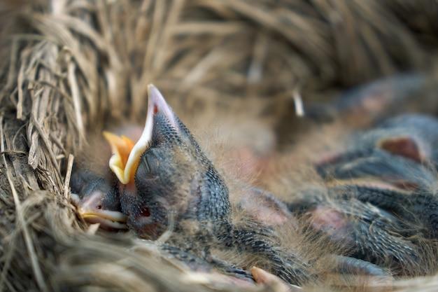 De kuikens van de hongerige pasgeboren spruw openen hun mond en vragen hun ouders om voedsel