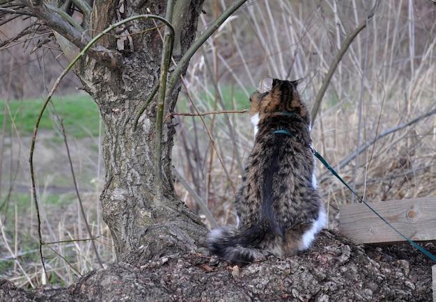 De kurilian bobtail-kat loopt in het voorjaar aan de lijn in het park