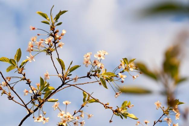 De laatste nog niet gevallen witte bloemen van kers in het voorjaar, close-up
