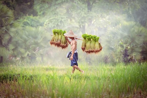De landbouwer die van vietnam zaailingen van te planten rijst dragen.