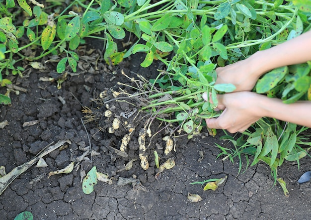 De landbouwerhanden van de close-up oogsten pinda op landbouwaanplanting. verse pinda's planten met wortels.