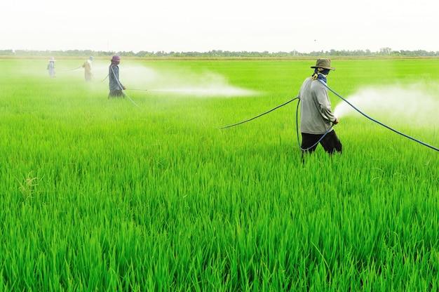 De landbouwers bespuiten pesticide op het padieveld