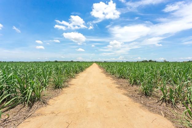 De landweg gaat de boerderij tussen suikerrietlandbouwbedrijf in thailand