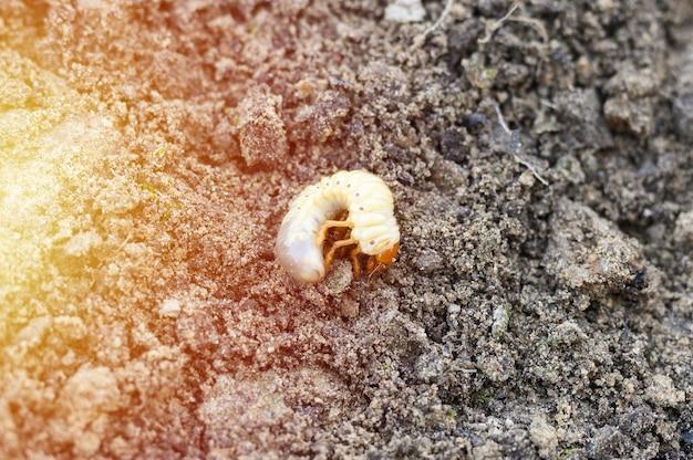 De larve van de meikever of meikeverwants op de losgemaakte grond springt in de tuin. gloed