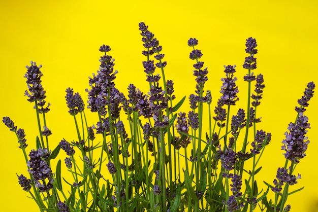 De lavendelstruiken sluiten omhoog op geel