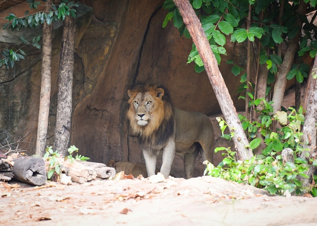 De leeuw in de dierentuin