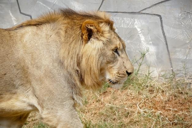 De leeuw is een soort vleesetend zoogdier van het geslacht panthera en de familie felidae