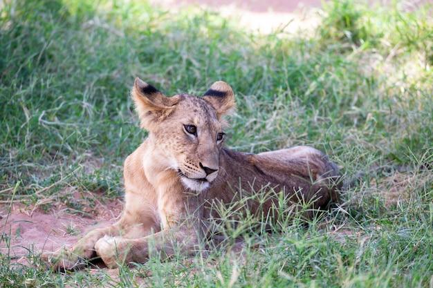 De leeuwen rusten in het gras van de savanne