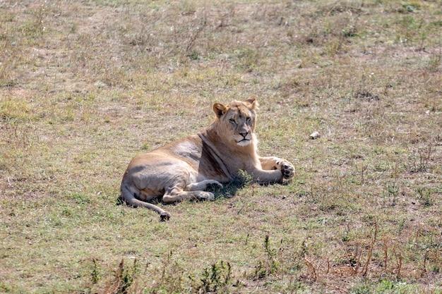 De leeuwin lag op de grond en keek niet naar de camera. uitzicht van boven. taigan-park.
