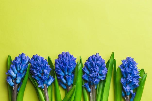 De lente bloeit blauwe hyacint op gele achtergrond