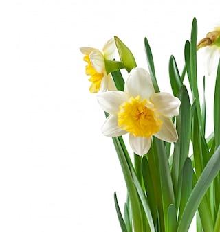 De lente bloeit geïsoleerde narcissen.