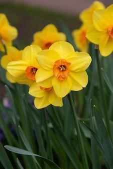 De lente bloeit gele gele narcissen. mooie gele bloemen.