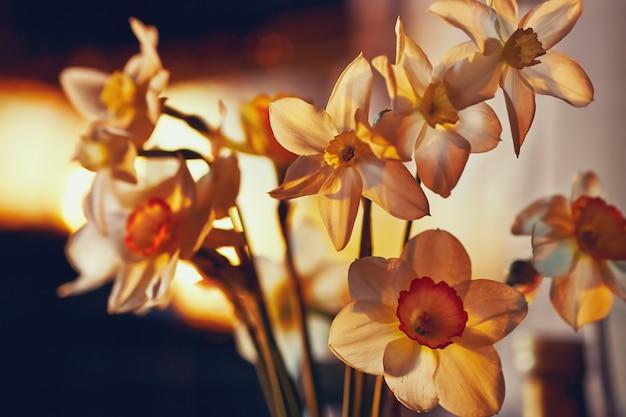 De lente bloeit gele narcissen in het gouden zonlicht