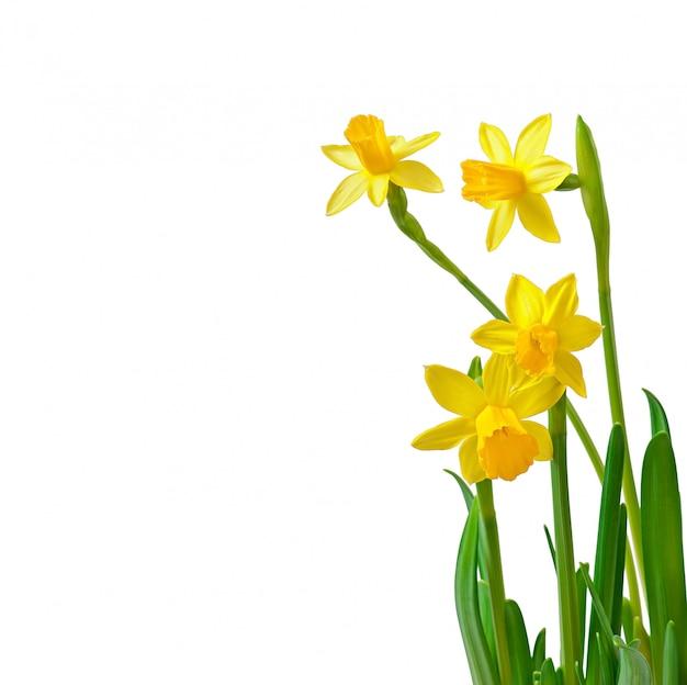 De lente bloeit narcissen die op wit worden geïsoleerd