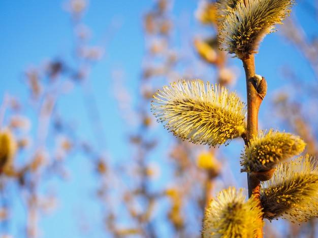 De lente jonge tot bloei komende knoppen tegen een blauwe hemel