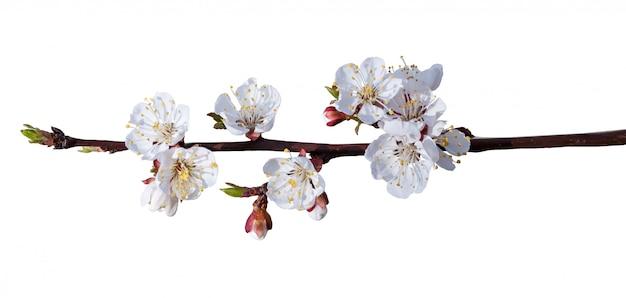 De lente komt over wit tot bloei. geïsoleerde tak