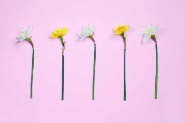 De lente tot bloei komende gele narcissen op roze pastelkleurachtergrond