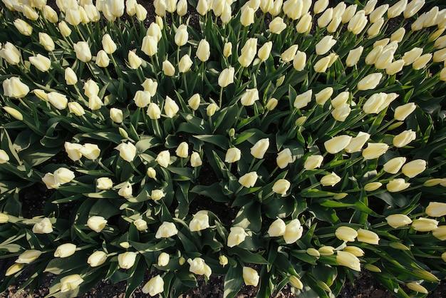 De lenteachtergrond met mooie witte tulpen.