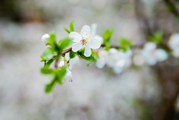 De lentekers komen witte bloemen tot bloei