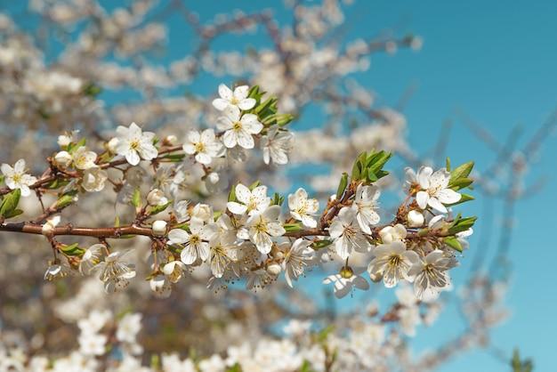 De lentekers komt witte bloemen tegen blauwe hemel tot bloei