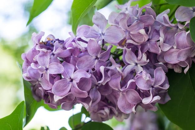 De lentetak van tot bloei komende purpere sering