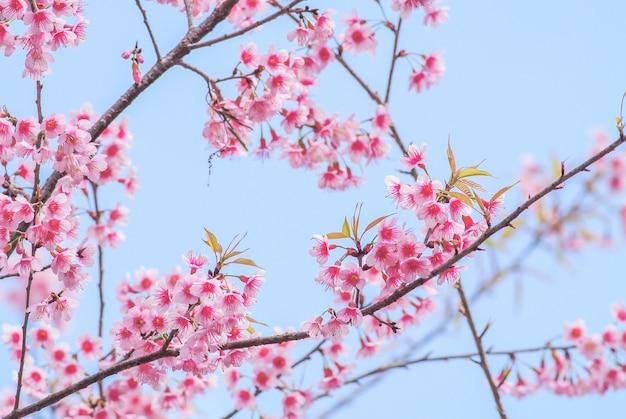 De lentetijd met mooie kersenbloesems, roze sakurabloemen.