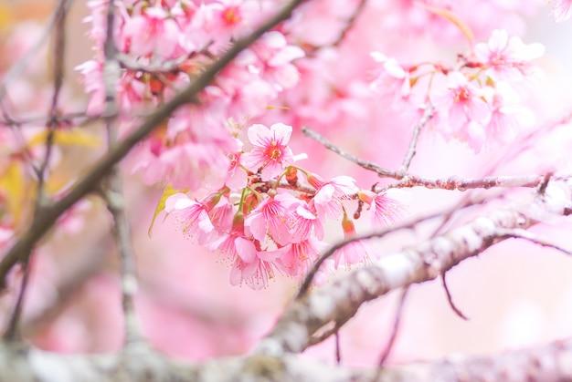 De lentetijd met prachtige kersenbloesems, roze sakura-bloemen.