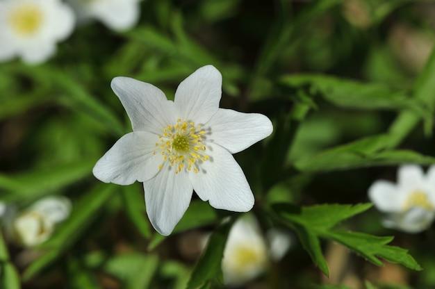 De lenteweide met bloemensneeuwklokjes