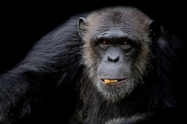 De leuke chimpansee houdt pinda in zijn mond op zwarte achtergrond