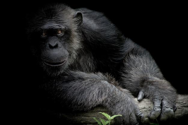 De leuke chimpanseeglimlach en vangt grote tak en kijkt recht op voorzijde van hem op zwarte achtergrond