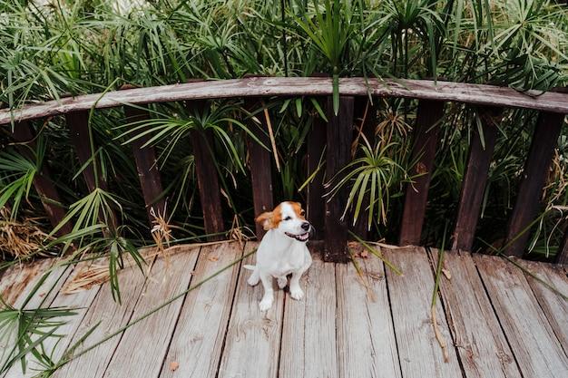 De leuke kleine terriër die van hefboomrussell op een brige in een park loopt