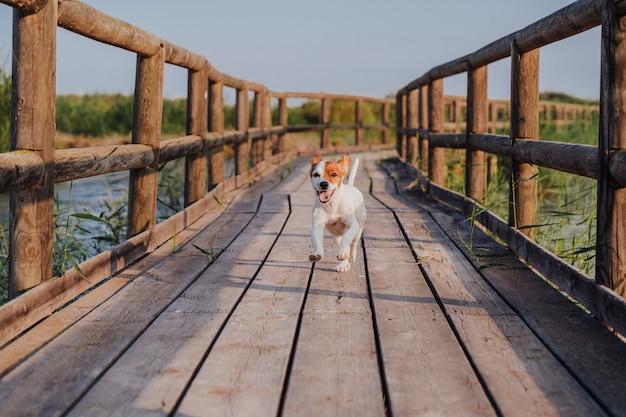 De leuke kleine terriër die van hefboomrussell op een houten pijler bij zonsondergang loopt