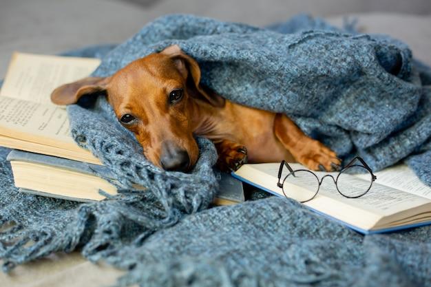 De leuke teckel ligt in een deken en glazen voor visie