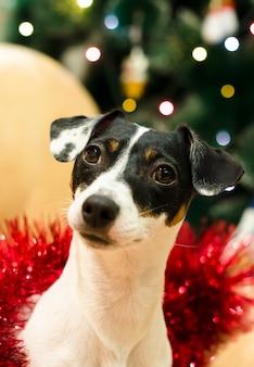 De leuke terriër van hefboomrussell in rood klatergoud kijkt verrast. nieuwjaar. kerstmis-